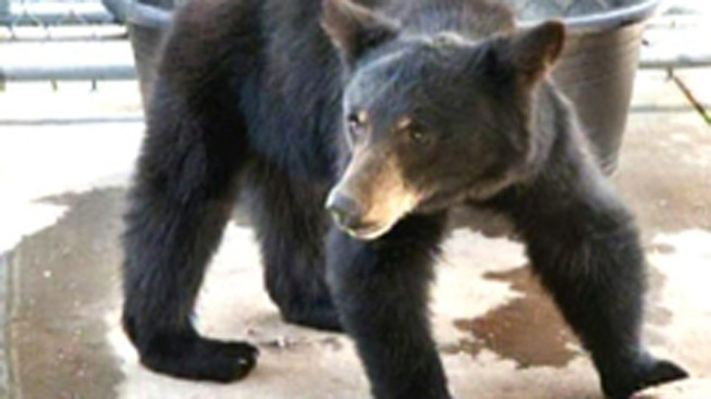 NY Lawmakers Ban Trade of Bear Bile
