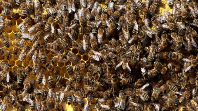 Beekeeping Trend Brings Swarm Emergencies to NYC