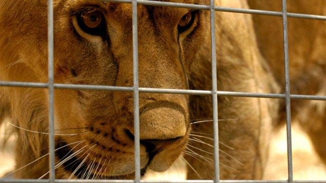 Lion Kills Intern at Calif. Animal Sanctuary