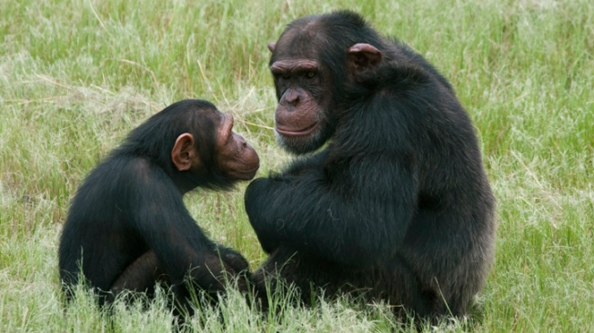 Chimps Don't Have Same Rights as Humans: NY Court
