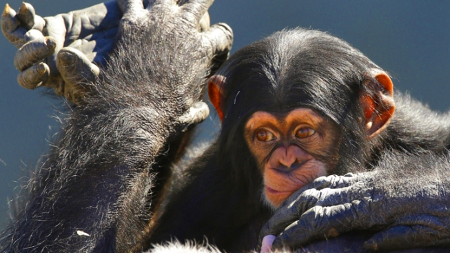 """Group Seeks """"Personhood"""" for 4 Chimps in NY"""