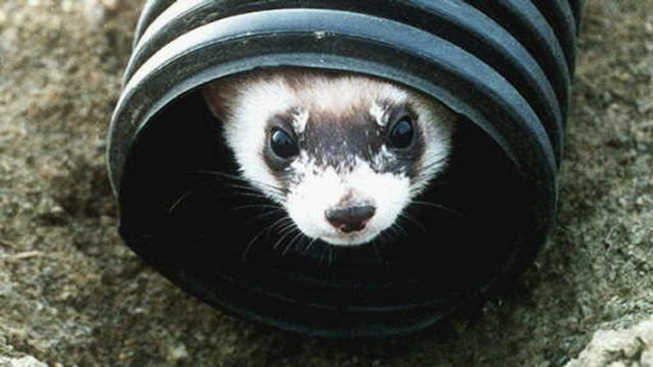 City to Consider Repeal of 15-Year Pet Ferret Ban