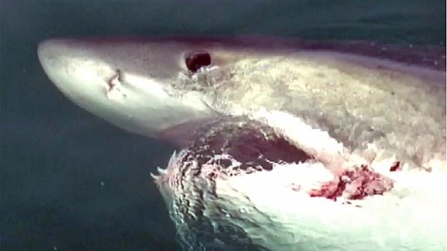 Great white shark spotted off nj coast nbc new york 16 foot great white shark circles boat publicscrutiny Gallery