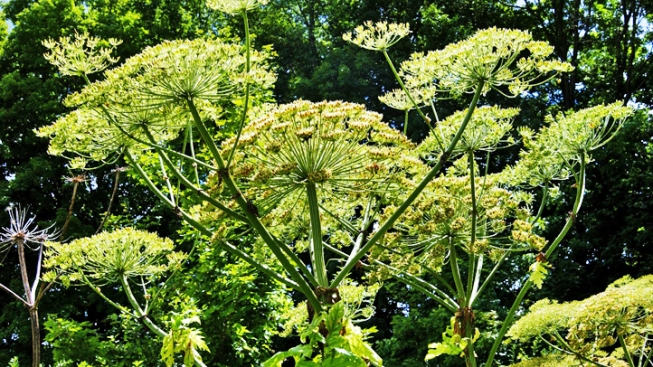 Blindness-Causing Giant Hogweed Invades New York; Hotline Set Up