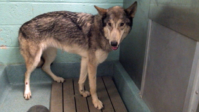 Hybrid Wolf-Dog Picked Up in Queens