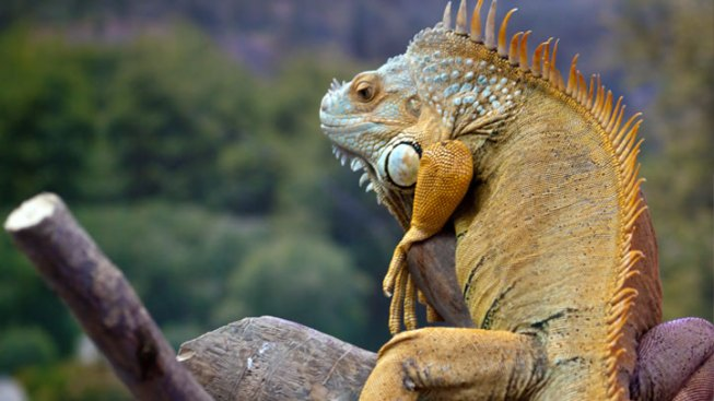 Puerto Rico Proposes Iguana Eradication Plan