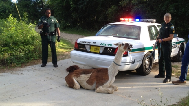 Deputies Tase, Capture Runaway Llama in Tallahassee