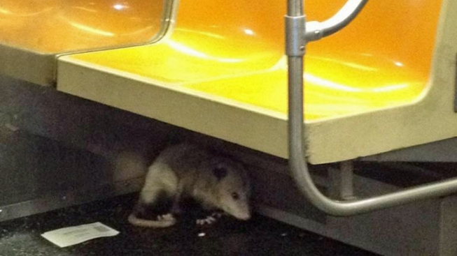 Opossum on Subway Causes Evacuation