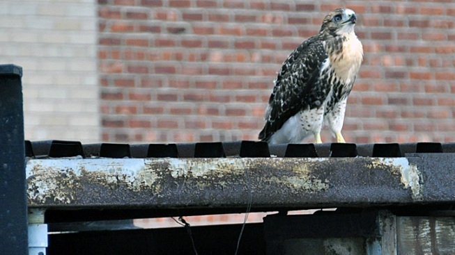 New York's Loveable Hawk
