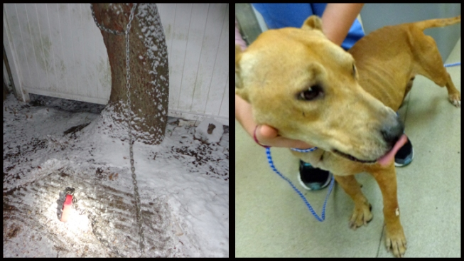 Pit Bulls Found Chained to Tree in Snow, Owner Cited for Neglect