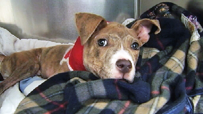 $20K Reward for Info in Tossed Pit Bull Puppy Case
