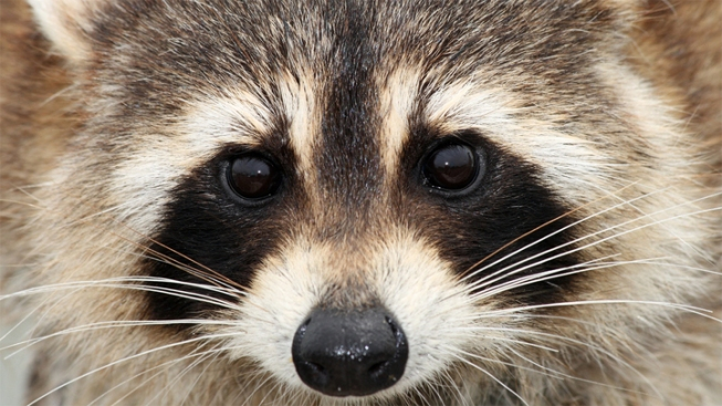 Parents Fear Raccoons at Central Park Playgrounds