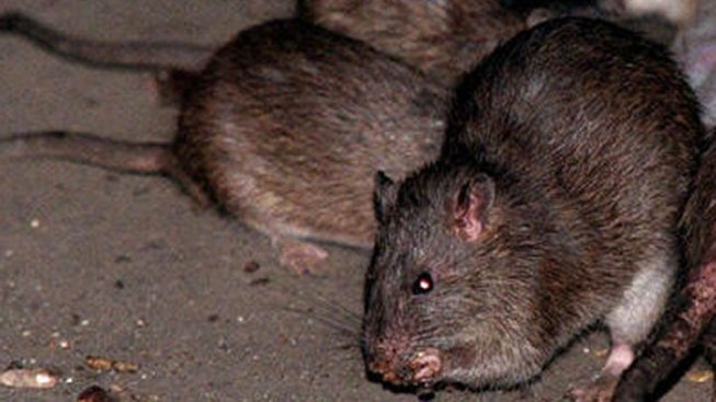 Rats Raid Holiday Packages in NYC Post Office