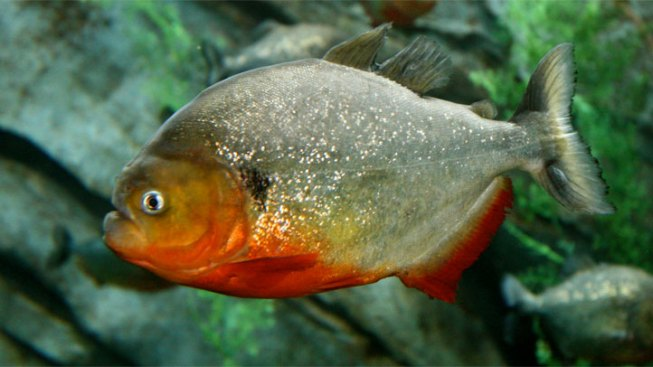 Man Admits Smuggling Nearly 40,000 Piranhas to NYC
