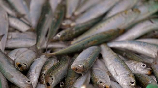 Rotting Sardines Block Japanese Port