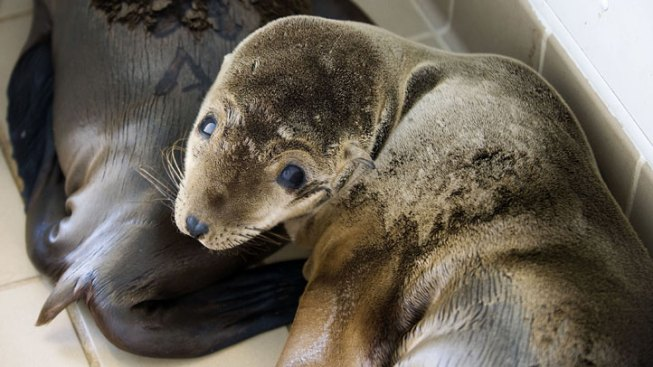 Starvation, Not Radiation Likely Cause of Ailing Sea Lion Pups in Calif.