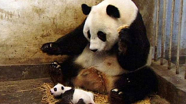Viral Panda Video to Become Feature Mockumentary