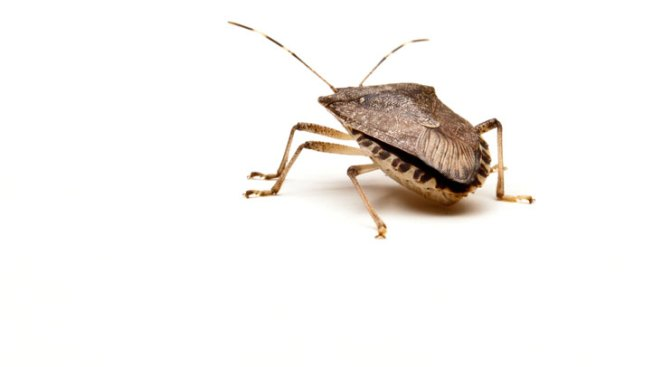 Stink Bug Problem Persists in Hudson Valley