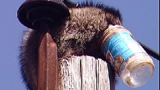 Raccoon With Head in PB Jar Gets Stuck on Pole