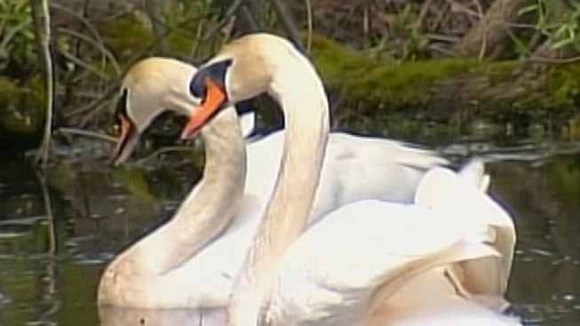 Swan Impaled by Arrow on L.I. Makes Full Recovery