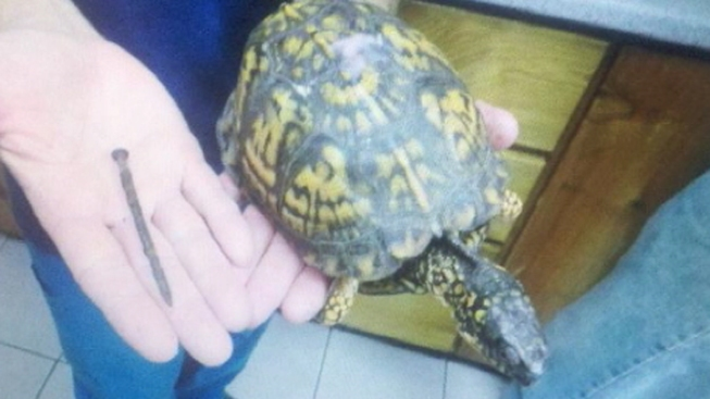 Turtle Found in L.I. Pierced With Nail