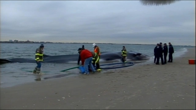 See video of the whale that was beached Wednesday morning in Breezy Point.