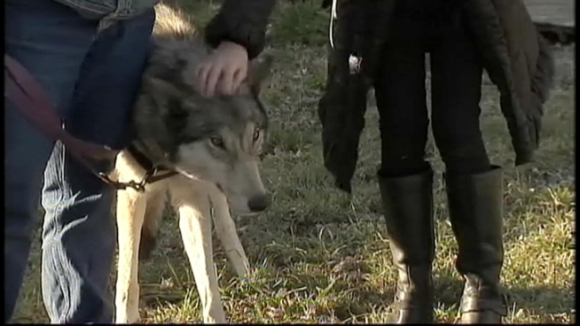 A wolf-dog hybrid found roaming through the streets of Queens is now being cared for at a farm in New Jersey until it can be adopted.  However, not everyone can legally take the animal home.  News4's Brian Thompson explains.