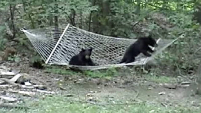 Check out this adorable video of two black bears climbing on a hammock in Vernon Township, <a title=