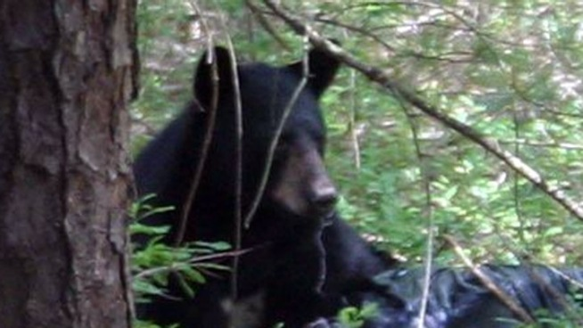 Bear Tranquilized in Downtown Conn. Town