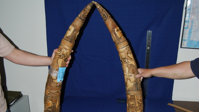 Man Accused of Smuggling African Ivory into NYC