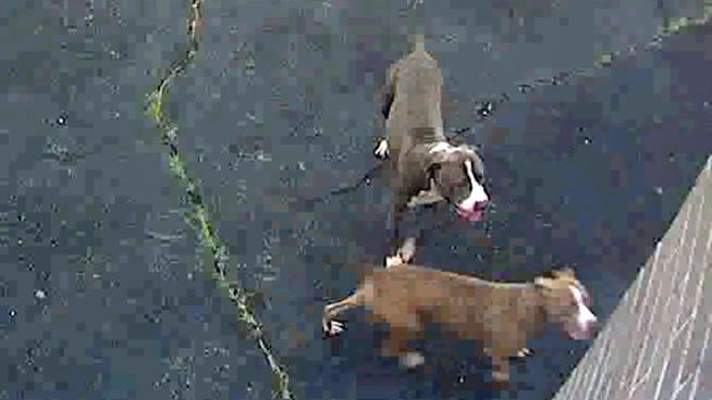 Police on Long Island released a photo of the two pit bulls that mauled a woman Thursday, severely injuring her as she went for her morning walk around a school track.