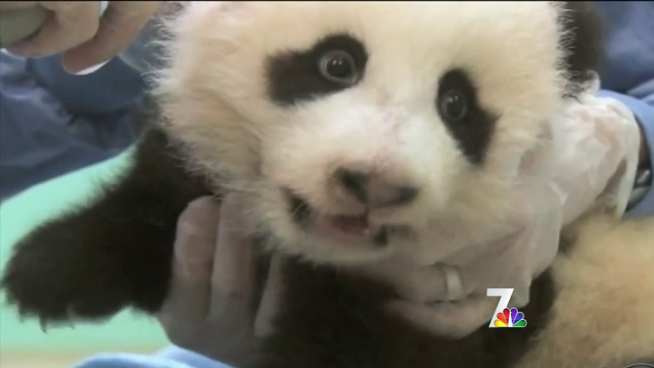 More than 35,000 people voted on the name of the San Diego Zoo's newest Panda, who was officially named Xiao Liwu. NBC 7 spoke to some of the self-diagnosed Pandaholics at the naming ceremony Tuesday.