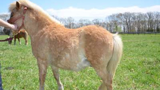 Group Seeks Donations for Pony's Surgery