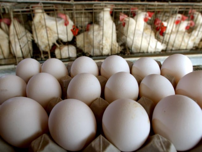 Vaccinate Your Chickens! NY Pols Demand Shots to Fight Salmonella