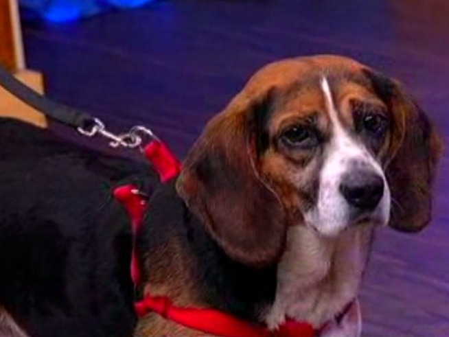 30 Lab Beagles Up for Adoption