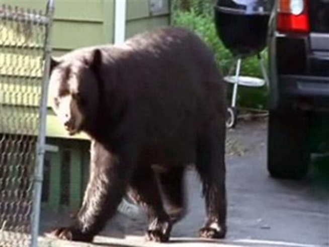There's a bear on the loose in New Britain and he, or she, gave some students quite a shock Monday as they waited for the bus to take them to their very first day for school for the year.