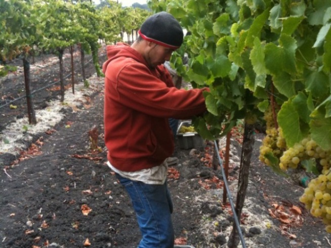 Rush to Harvest in Wine Country