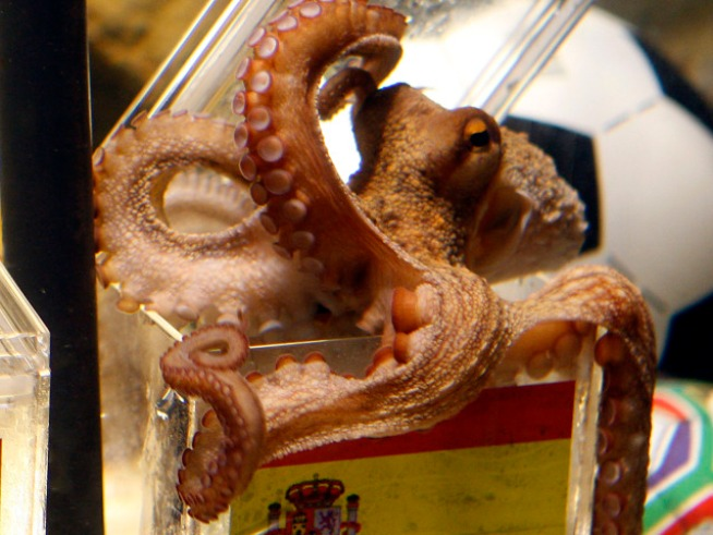 Oracle Octopus Picks Spain in Final, Receiving Death Threats
