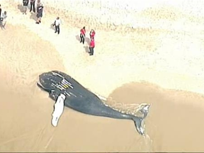 Chopper 4 captures the scene after a massive whale washes ashore on <a title=