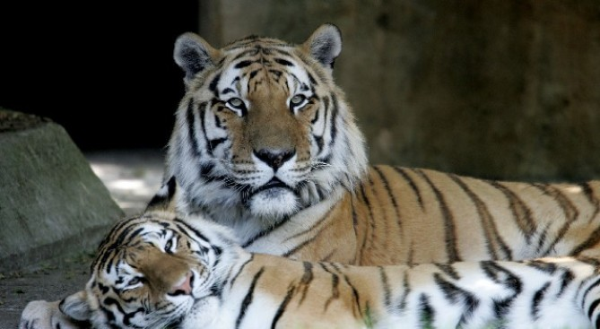 Tiger Still Slashing San Francisco Zoo