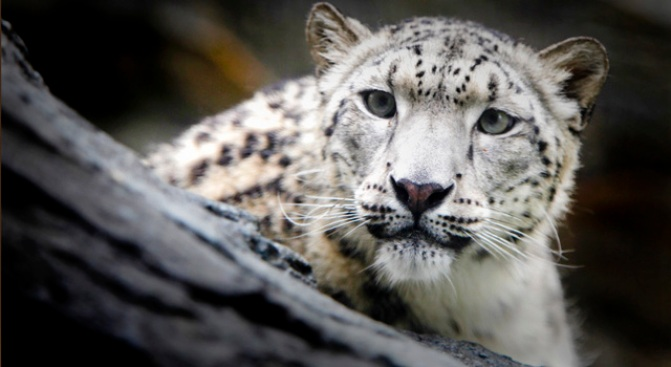 Endangered Snow Leopards Coming to Central Park Zoo