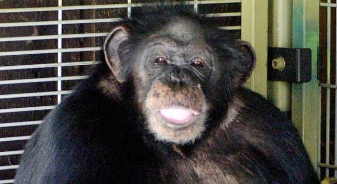 Chimp in Conn. Attack Had Unusual Bond With Owner