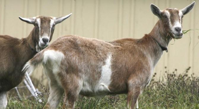"""""""Phantom Goat"""" Captured in NJ"""