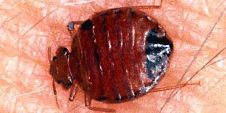 Bedbugs on the March