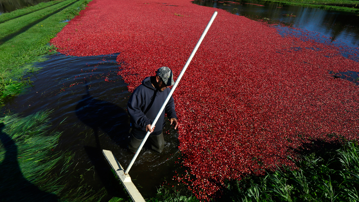 Farmworker Felix Barrveta uses a paddle to move cranberries floating in a flooded cranberry bog during harvest on a farm owned by Malcolm and Ardell McPhail in Ilwaco, Washington, Oct. 11, 2016.