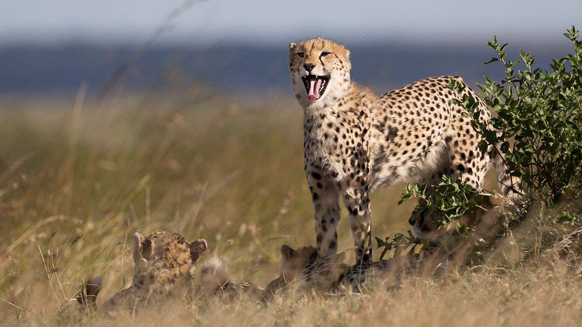 In this photo taken Monday, July 6, 2015, a cheetah yawns as others lie down in the late afternoon in the savannah of the Maasai Mara, south-western Kenya.