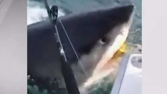 Fisherman Detail Up-Close Great White Shark Moment
