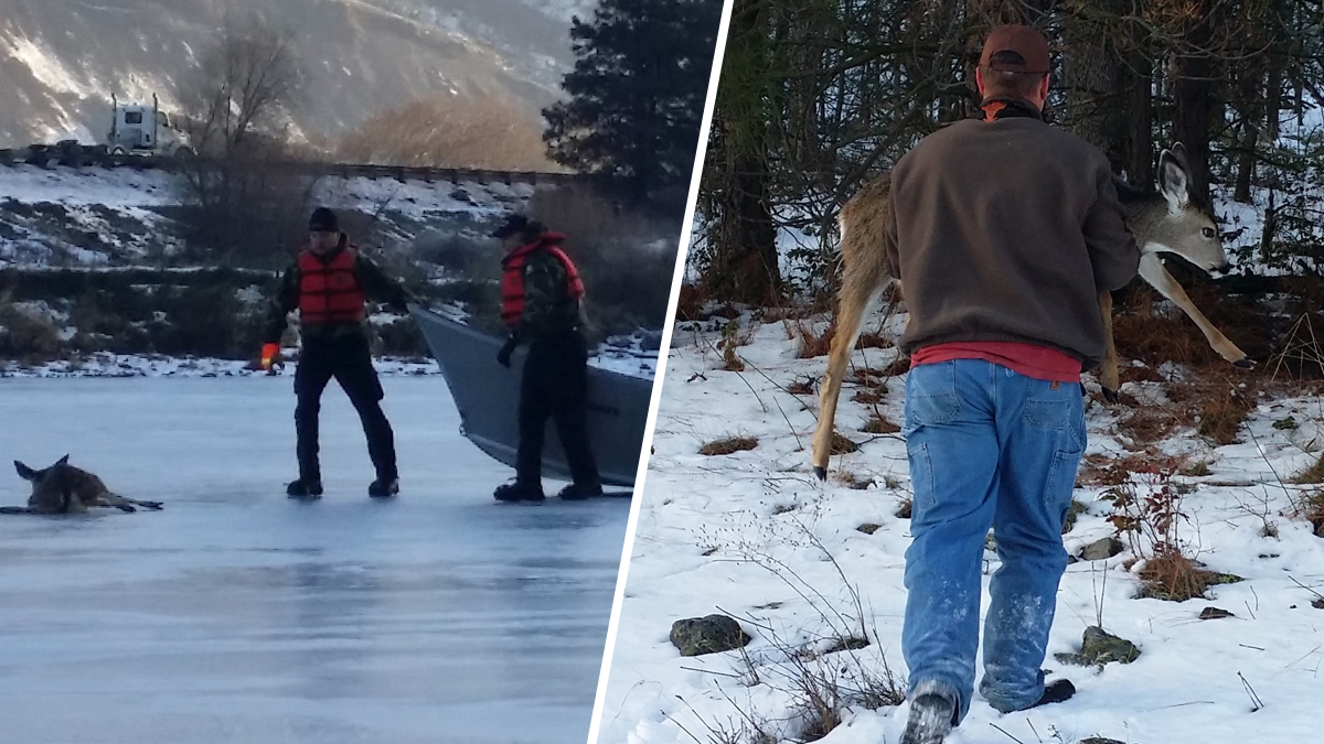 The Oregon State Police and Department of Fish and Wildlife rescued a young deer when it became stranded on an ice-covered pond near The Dalles on Dec. 21, 2016.