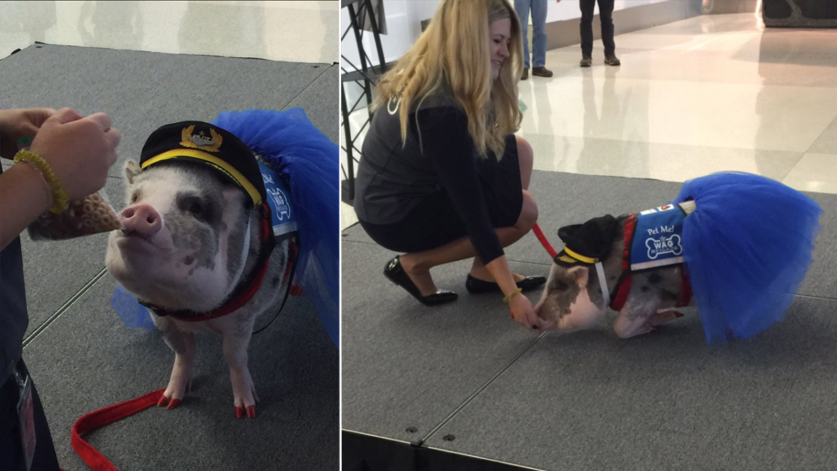 The San Francisco International Airport added pigs to the therapy animal program, also known as the Wag Brigade, which helps calm stressed travelers.