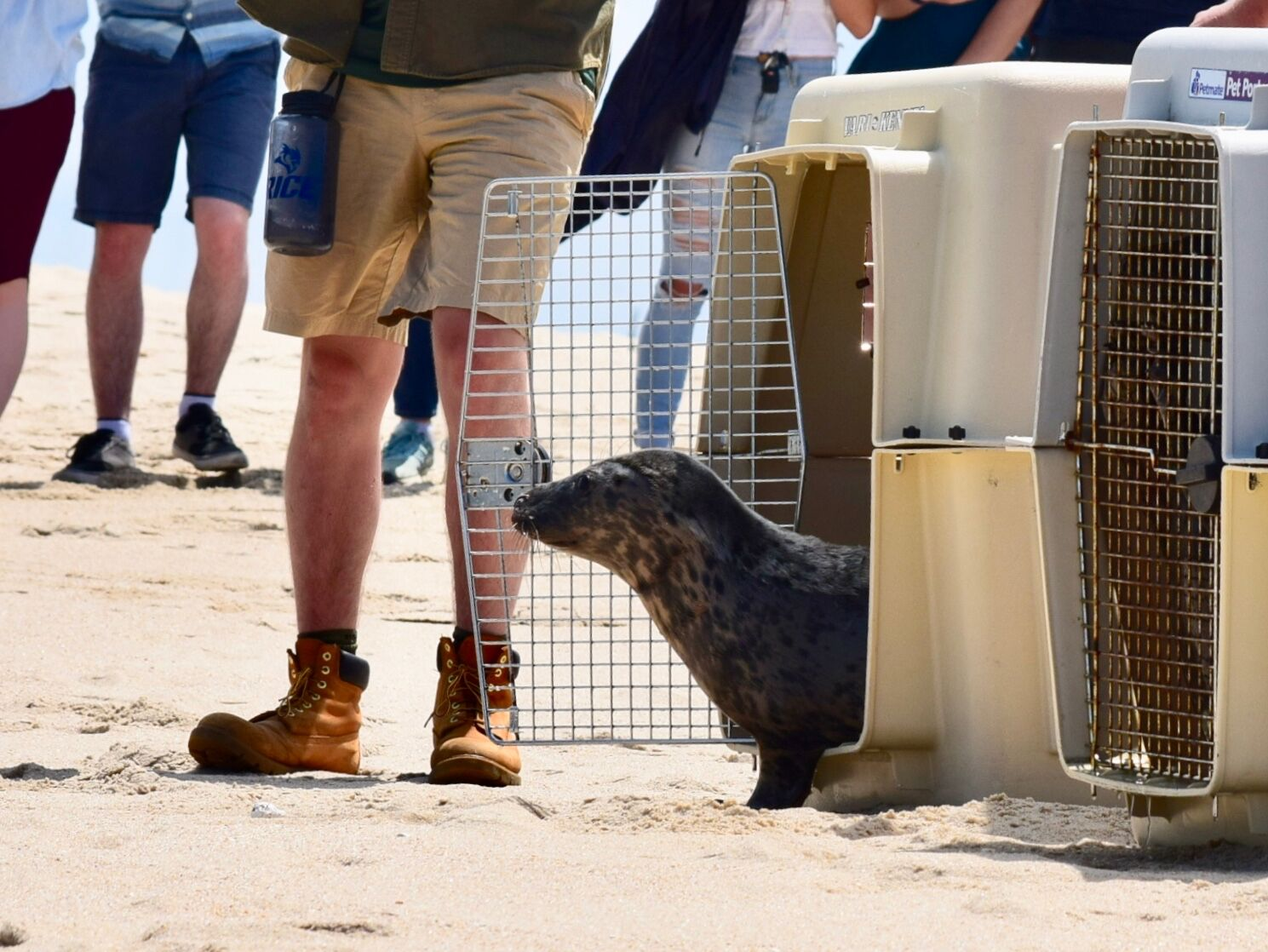 Heading Home: Seal Pups Released at Sandy Hook